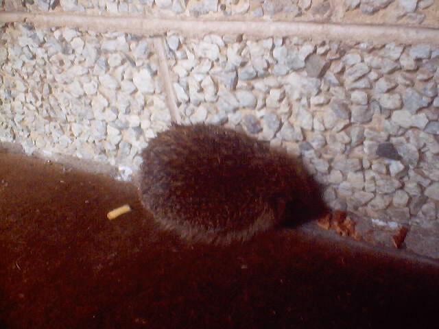 hedgehog_0012